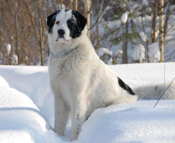 Белая тувинская овчарка с черными пятнами