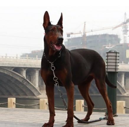 Китайская горная красная собака