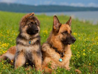 Красивое фото немецкой овчарки и щенка