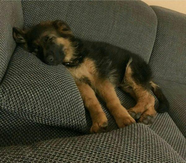 Щенок немецкой овчарки спит на диване