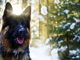 Немецкая овчарка на фоне зимнего леса