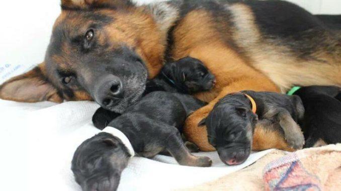 Немецкая овчарка с новорожденными щенками