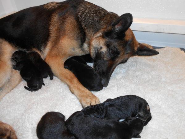 Немецкая овчарка вылизывает новорожденных щенков