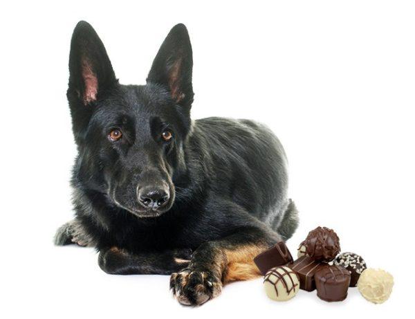 Черная немецкая овчарка и конфеты
