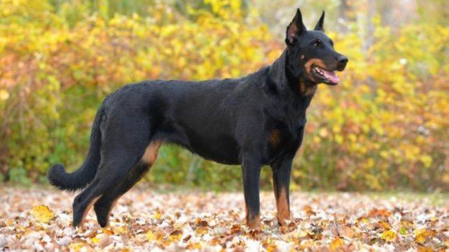 Внешний вид собаки породы французская овчарка босерон