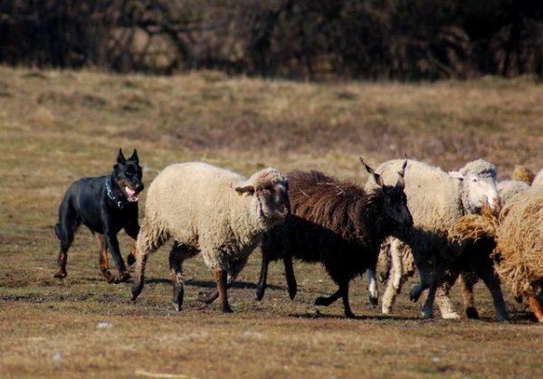 Босерон управляет стадом овец