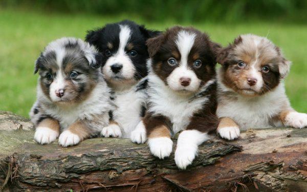 Много щенков австралийской овчарки