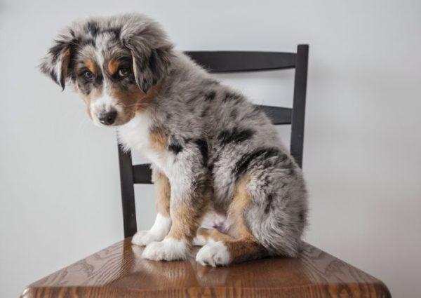 Щенок австралийской овчарки сидит на стуле