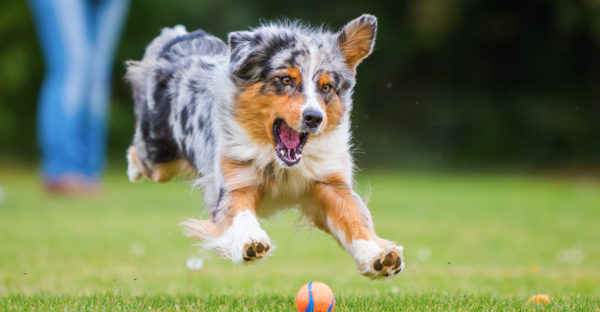 Австралийская овчарки играет с мячом