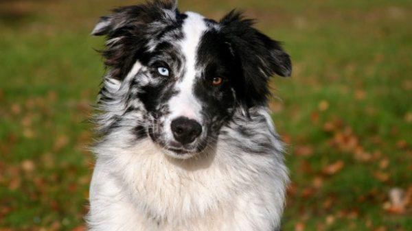 Аусси с разным цветом глаз