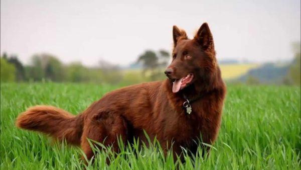 Рыжая немецкая овчарка