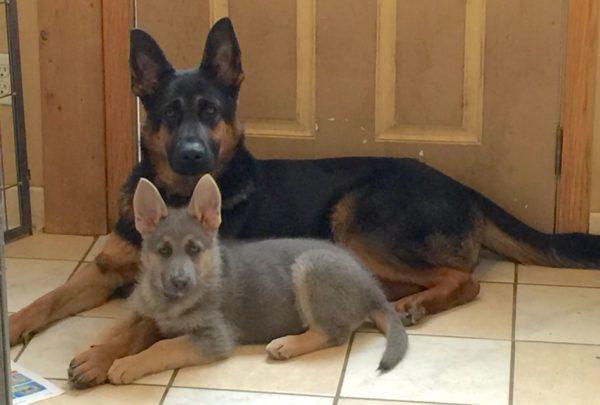 Голубой щенок немецкой овчарки