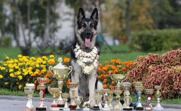 Восточноевропейская овчарка чемпион