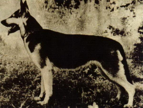 Восточно-европейская овчарка Эфа