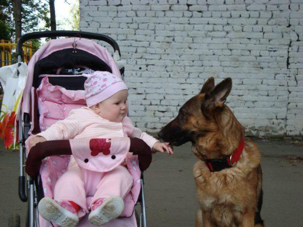 Малинуа бельгийская овчарка и ребенок