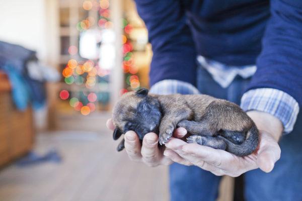 Новорожденный щенок малинуа