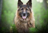 Красивая немецкая овчарка на фоне елей