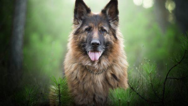Особенности воспитания щенка немецкой овчарки