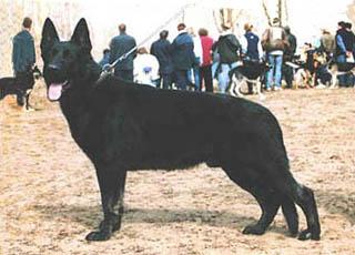 Немецкая овчарка на выставке