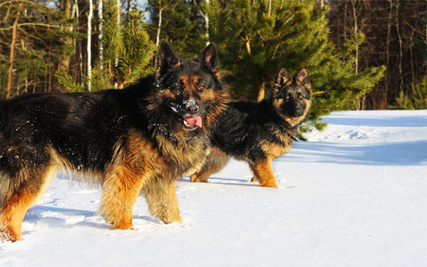Немецкие овчарки черно-подпалого окраса в лесу зимой