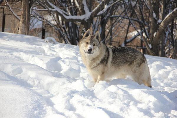 Чешский волчак зимой
